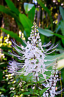 A close-up of a lovely flower with common name: Cat's Whiskers, or Java Tea, whose leaves are used to make tea which is a mild diuretic. Latin name: Orthosiphon aristatus. Photo taken at the Hawai'i Tropical Botanical Garden in Onomea, north of Hilo, Big Island.