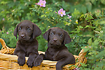 Chocolate Labrador retriever puppies