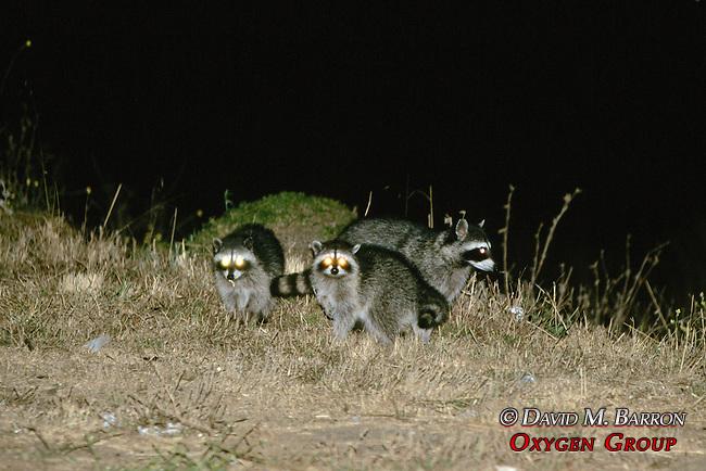 Raccoons At Night