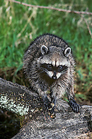 Raccoon feeding on frog it has caught.  Pacific Northwest.