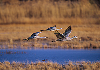 512666371 on a fall morning three wild sandhill cranes grus canadensis take flight over the open grain fields of bosque del apache national wildlife refuge in northern new mexico