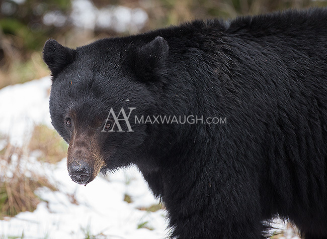 This black bear was grazing near the road outside the park's northeast entrance.