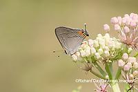 03191-00620 Gray Hairstreak (Strymon melinus) on Swamp Milkweed (Asclepias incarnata) Marion Co. IL