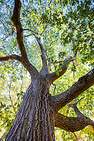 Quercus rubra, Northern Red Oak tree, Arnold Arboretum