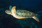 Chelonia mydas, Green sea turtle, Cozumel, Mexico