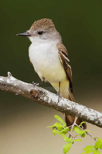 Ash-throated Flycatcher, Myiarchus cinerascens, adult, Uvalde County, Hill Country, Texas, USA, April 2006