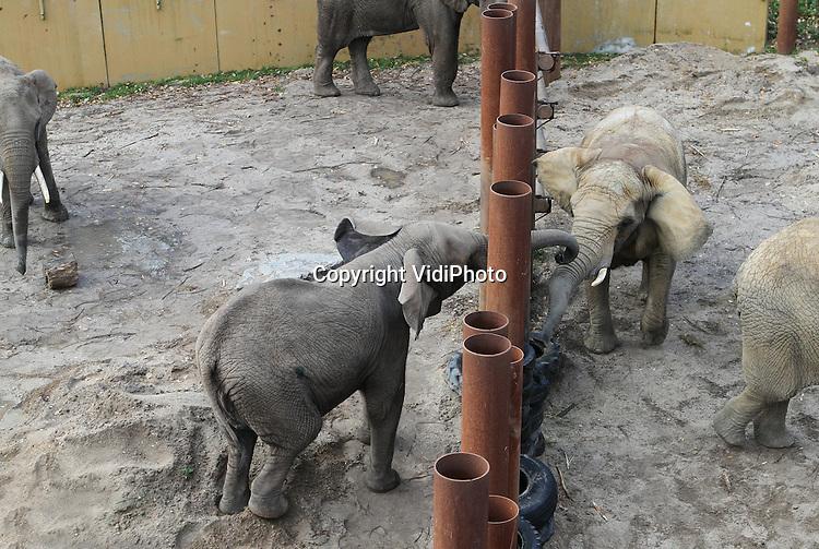 Foto: VidiPhoto..RHENEN - Contact! De twee nieuwe Afrikaanse olifantenvrouwtjes Tembo en Sabi (r) van Ouwehands Dierenpark in Rhenen, mochten vrijdag voor het eerst naar buiten. Extra spannend was het omdat ze ook voor het eerst mochten kennismaken met de rest van de kudde: bul Tooth en de vrouwtjes Duna en Aja. Omdat de nieuwe vrouwtjes, afkomstig uit het Duitse Augsburg, nogal dominant zijn, wordt er geen risico genomen en worden beiden groepen voorlopig nog gescheiden door grote stalen palen..