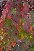 Hydrangea leaves in autumn, Oregon