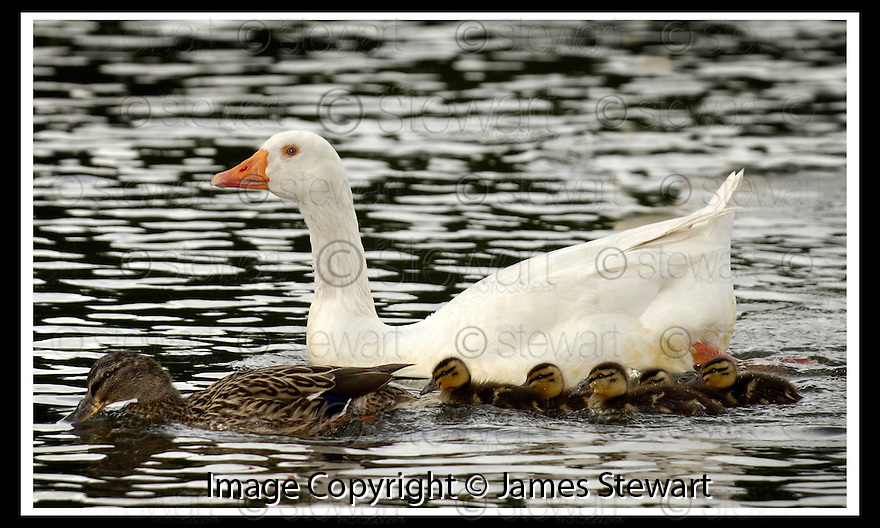 23/05/2006         Copyright Pic: James Stewart.File Name : sct_jspa04_goose. A GOOSE AT THE GUNKNOWE LOCH, TWEEDBANK NEAR GALASHIELS, WITH HIS FAMILY OF ADOPTED DUCKS ....Payments to :.James Stewart Photo Agency 19 Carronlea Drive, Falkirk. FK2 8DN      Vat Reg No. 607 6932 25.Office     : +44 (0)1324 570906     .Mobile   : +44 (0)7721 416997.Fax         : +44 (0)1324 570906.E-mail  :  jim@jspa.co.uk.If you require further information then contact Jim Stewart on any of the numbers above.........