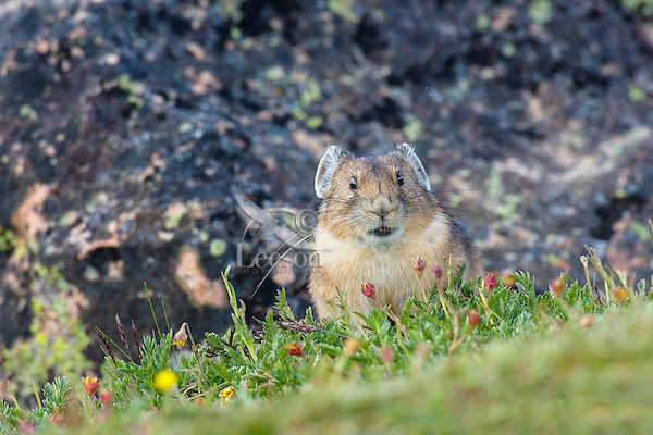 Adult American pika (Ochotona princeps).  Beartooth Mountains, Wyoming/Montana border.  Summer.  This photo was taken in alpine setting at around 11,000 feet (3350 meters) elevation.