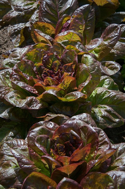 Lettuce 'Devil's Tongue', mid July. A tall cos lettuce with red or purple leaves.