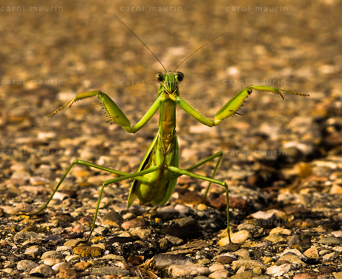 Praying Mantis standing with it's arms outstretched.