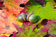 Acorns surrounded by autumn leafs in New Hampshire.