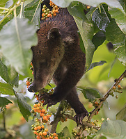 White-nosed Coati; Nasua narica; feeding on pico-pico; Ecuador, Prov. El Oro, Buenaventura Ecological Reserve,