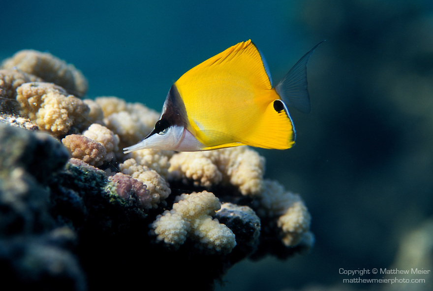 Moorea, French Polynesia; Longnose Butterflyfish (Forcipiger flavissimus), solitary or in pairs, found on coastal and outer reefs in 2-114 meters, in the Indo-Pacific Ocean region, Red Sea and E. Africa to Hawaii and C. America. S.W. Japan to N. & E. Australia, to 22 cm , Copyright © Matthew Meier, matthewmeierphoto.com All Rights Reserved