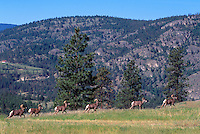 California Bighorn Sheep Rams (Ovis canadensis), South Okanagan Region of BC, British Columbia, Canada - North American Wildlife