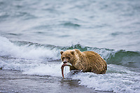 Brown bear catches a salmon in Naknek lake, Katmai National Park, southwest, Alaska.