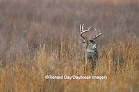 01982-01316 White-tailed Deer (Odocoileus virginianus) buck in grass   TN