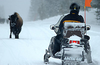 A snowmobiler confronts a dangerous Buffalo at Yellowstone National Park on a cold January mornin