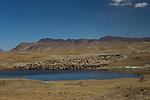 Domestic Sheep (Ovis aries) flock approaching lake, Tien Shan Mountains, eastern Kyrgyzstan