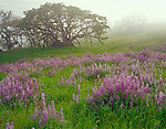 Redwood National Park, CA <br /> Morning fog blankets the Bald Hills meadows with riverbank lupine (Lupinus rivularis) and Oregon White Oak (Quercus garryana)