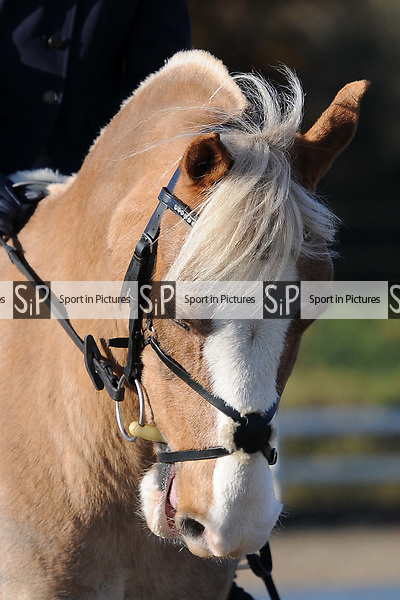 Stapleford Abbotts. United Kingdom. 30 November 2019. Class 3. Unaffiliated dressage. Brook Farm training centre. Stapleford Abbotts. Essex. UK. Credit Ellen Szalai/Sport in Pictures.~ 30/11/2019.  MANDATORY Credit Ellen Szalai/SIP photo agency - NO UNAUTHORISED USE - 07837 394578