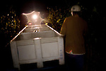 Farmworkers pick grapes during a night harvest at Ceja Vineyards, in Sonoma, Ca., on Sunday, Oct. 11, 2009.