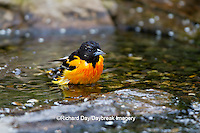 01611-08815 Baltimore Oriole (Icterus galbula) male bathing Marion Co., IL