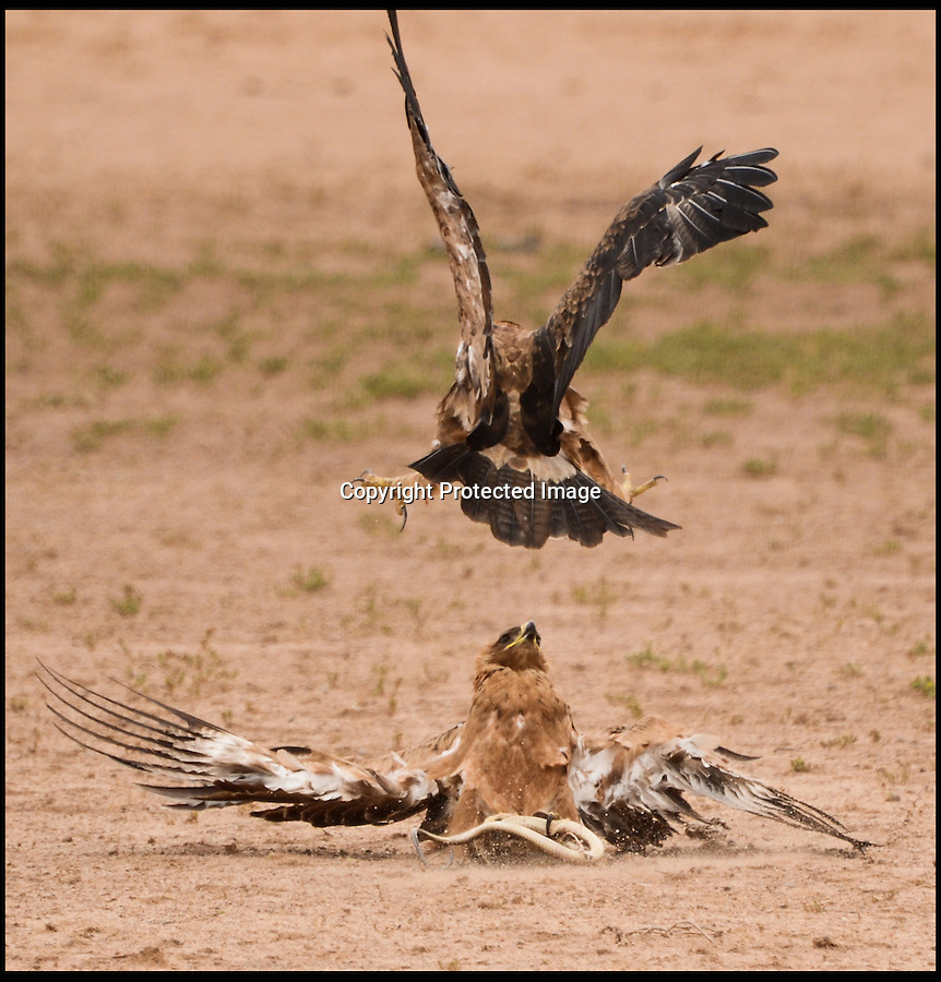 """BNPS.co.uk (01202) 558833<br /> Picture: AnjaDenker/BNPS<br /> <br /> ****Must use full byline****<br /> <br /> Dinner for two...but before she can tuck in another eagle launches an aerial assault..<br /> <br /> Snake, rattle and roll...<br /> <br /> This is the dramatic moment three eagles took to the skies to fight over an deadly snake for their dinner.<br /> <br /> One of the Tawney Eagles had captured the Cape Cobra and tried to fly off with it when the other two caught wind and followed.<br /> <br /> They performed a series of acrobatic stunts as they ducked and dived around the bird in vain attempts to grab the snake.<br /> <br /> But the determined bird kept a firm grasp of the poisonous creature and swooped low to the ground before flying away from the hungry duo and settling on a nearby branch.<br /> <br /> As the pair came closer the eagle tried to shield the cobra with its wings but eventually took to the skies again to get away from their talons.<br /> <br /> The whole thing was witnessed by wildlife photographer Anja Denker, who was watching the encounter at the Kgalagadi National Park in Namibia, South Africa.  <br /> <br /> She snapped pictures as the trio fought for their supper and watched the trio as they flapped away, still trying to snatch the snake.<br /> <br /> Anja, 46, said: """"I was on my way out of the park, when I noticed a secretary bird close by on my left hand side."""