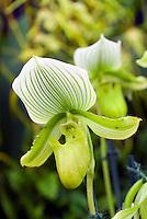 Paphiopedilum Maudiae orchid