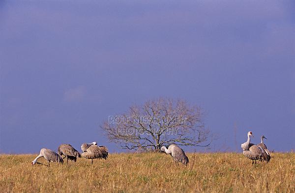 Sandhill Crane, Grus canadensis,adults, Welder Wildlife Refuge, Sinton, Texas, USA, March 2005