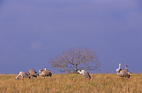 Sandhill Crane, Grus canadensis,adults, Welder Wildlife Refuge, Sinton, Texas, USA, March 2005