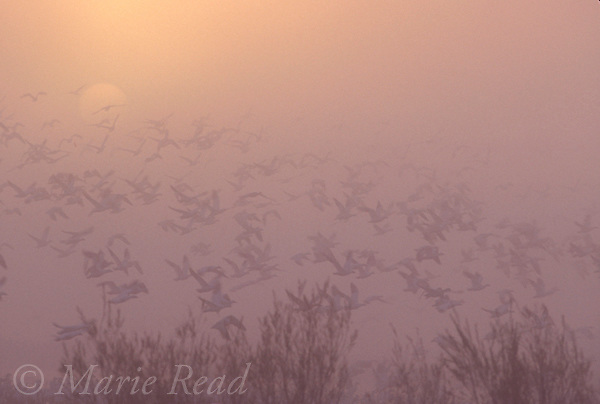 Snow Geese (Chen caeulescens) flock taking flight from a misty marsh at sunrise, Bosque Del Apache National Wildlife Refuge, New Mexico, USA<br /> Slide #B24-5651