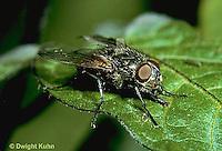 1H02-007z  Housefly Musa domestica