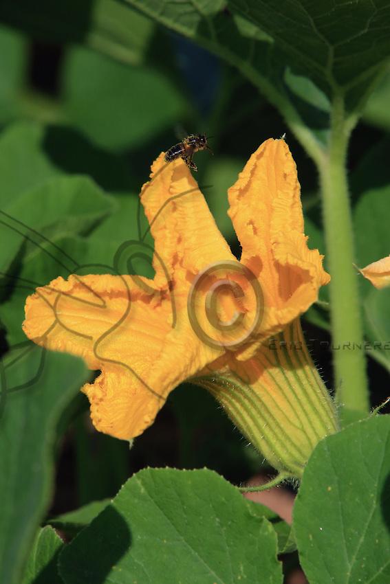 A bee in flight arriving at the corolla of a zucchini flower.///Une abeille en vol arrive vers la corole d'une fleur de courgette.