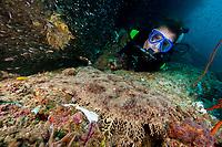 Scuba diver with Tasselled wobbegong, Eucrossorhinus dasypogon, dive site: Kaleidoscope Point, Pelee Island, Raja Ampat, West Papua, Indonesia, Indo-Pacific Ocean