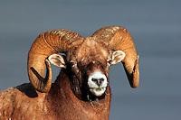 Bighorn Sheep (Ovis canadensis), Jasper National Park, Alberta, Canada.