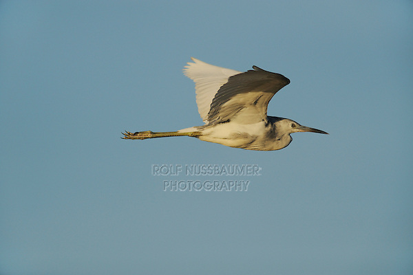 Little Blue Heron (Egretta caerulea), immature in flight , Fennessey Ranch, Refugio, Coastal Bend,Texas Coast, USA