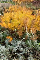 Amsonia hubrichtiii in autumn fall foliage color with Artemisia alba 'Canescens'