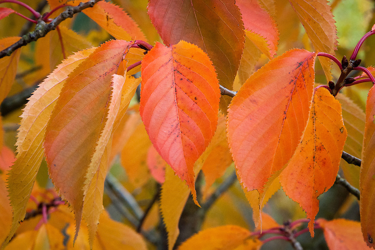 Autumn foliage of Prunus matsumae-mathimur-zakura, early November.