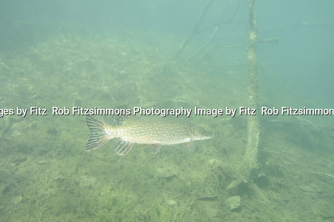 Northern Pike (Esox lucius) a highly predaceous fish, feeds on all fish and any other living animals small enough to seize. Images were taken from a Central Minnesota Lake in 24 feet of water