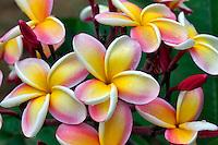 Plumaria or Frangipani bloom with rain drops. Kauai, Hawaii