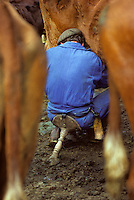 Europe/France/Auvergne/15/Cantal/env de Mandailles : Traite des vaches de race Salers au buron pour la préparation en estive du fromage AOC Cantal PHOTO D'ARCHIVES // ARCHIVAL IMAGES<br /> FRANCE 1980