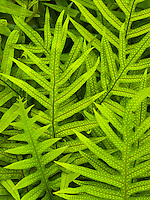 A close-up of the indigenous laua'e fern on the Big Island.