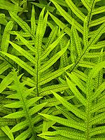 A close-up of the indigenous laua'e fern on the Big Island.