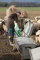 Shepherd filling feeders with finishing nuts for Hoggs on Kale stubble<br /> &copy;Tim Scrivener Photographer 07850 303986<br /> ....Covering Agriculture In The UK....