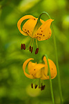 A photo of a Tiger Lily (lilium parvum)flower in Rock Creek Canyon, CA