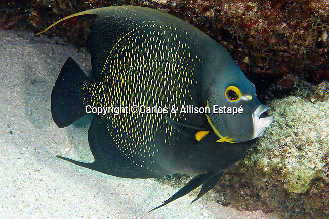 Pomacanthus paru, French angelfish, Florida Keys