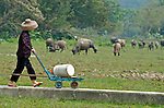 Hong Kong  A villager of Pui O on the Island of Lantau near Hong Kong, follows a boardwalk path to the seashore, through a herd of feral water buffalo.  Once used as draft animals in rice paddies water buffalo now roam the former paddies as feral domestic wildlife, often accompanied by cattle egrets. The buffalo wander the village of Pui O on Lantau Island freely, grazing wherever they can find vegetation.