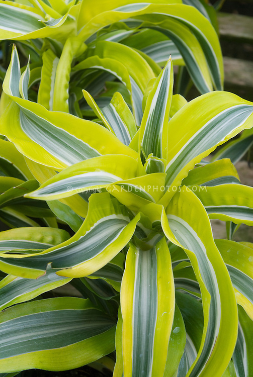 Dracaena deremensis 'Lemon Lime' striped houseplant hybrid, chartreuse yellow-green and silver foliage plant with long strap like leaves